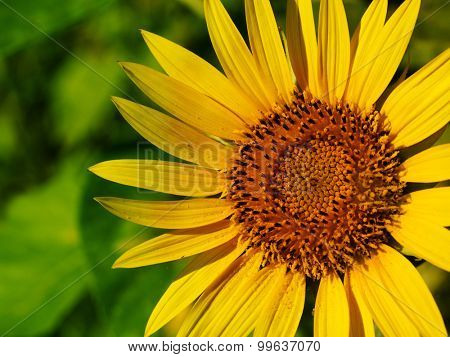 Sunflower (Helianthus) in full bloom in mid summer.