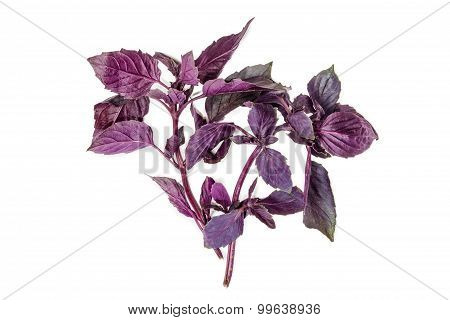 Two Branches Of Basil On A Light Background