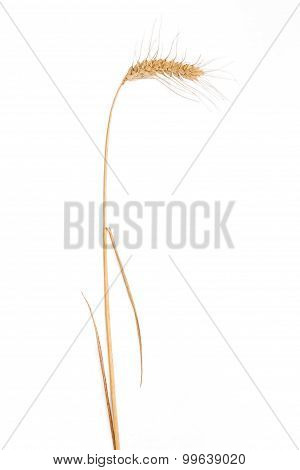 Stem Of Wheat With Spikelet On A Light Background