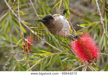 Black-eyed Bulbul (pycnonotus Barbatus) Hanging From A Bottle Brush Flower