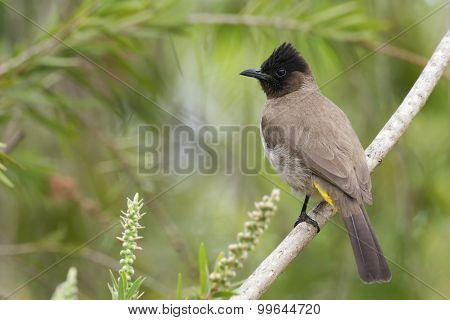 Black-eyed Bulbul (pycnonotus Barbatus) Perched In A Bottle Brush Tree