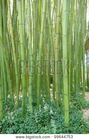 Giant Bamboos In A Botanic Garden