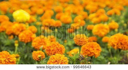 background blurred covered bed blooming marigolds