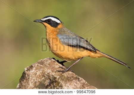 White-browed Robin-chat (cossypha Heuglini) Standing On A Rock