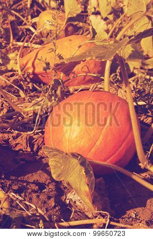 pumpkin on a farm field retro