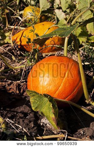 pumpkin on a farm field