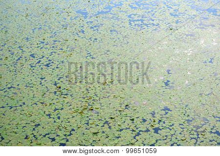 Leaves Are Blooming Water Lilies And Algae On The River