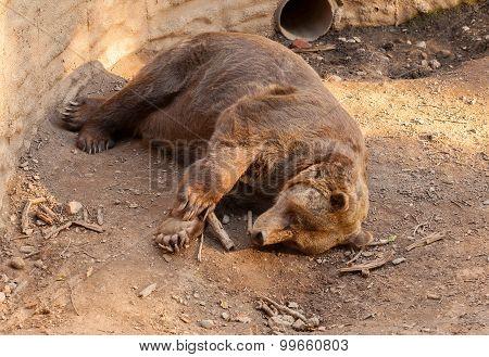 A brown bear sleeping
