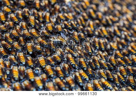 Giant Honey Bees