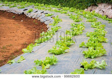 Lettuce Vegetables In Field
