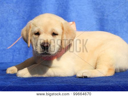 Cute Labrador Puppy On A Blue Background