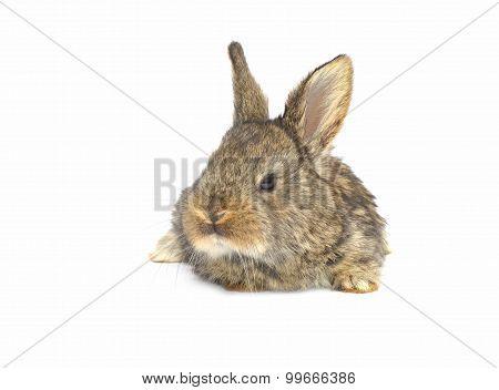 Rabbit Sitting On White Background