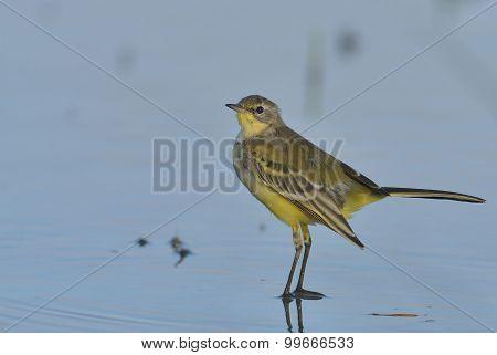 Yellow Wagtail Bird Specie Motacilla Flava