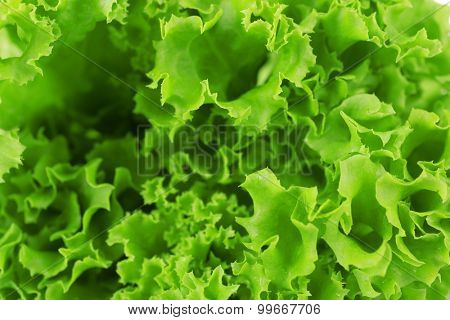Green fresh lettuce close up