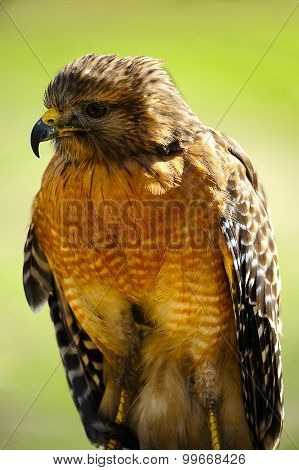 Red Shoulder Hawk