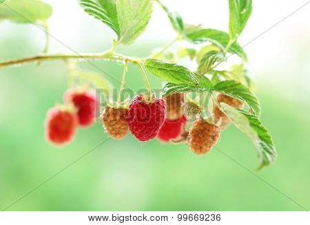 Branch of raspberries on blurred nature background