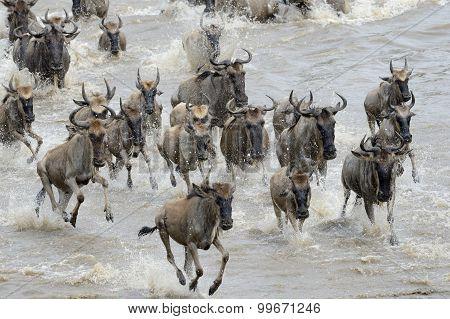 Herd of Wildebeest migration