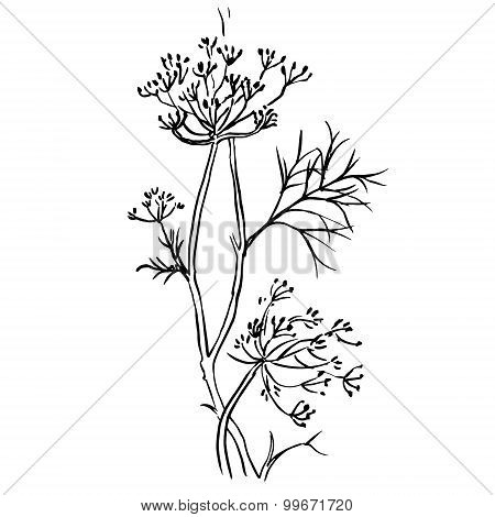 Set of dill  isolated on white background. Hand drawn vector illustration, sketch. Elements for desi