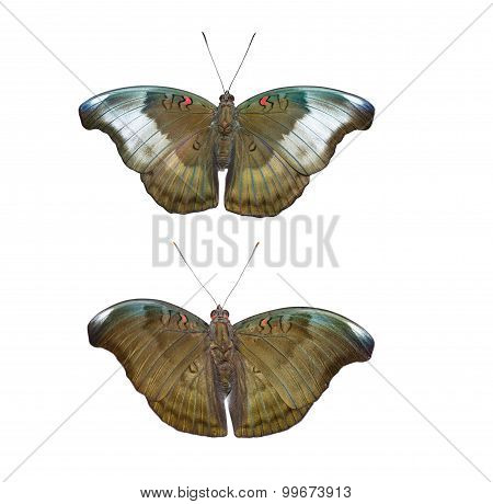 Isolated Male And Female Red Spot Duke Butterfly