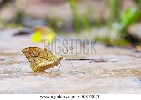 The Great Orange Tip (hebomoia Glaucippe) Butterfly