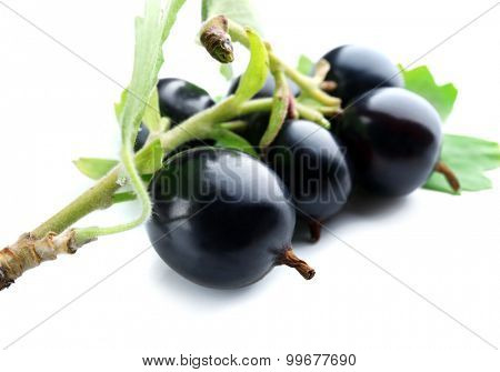 Wild black currant with green leaves close up