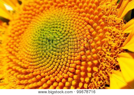 Beautiful bright sunflower close up