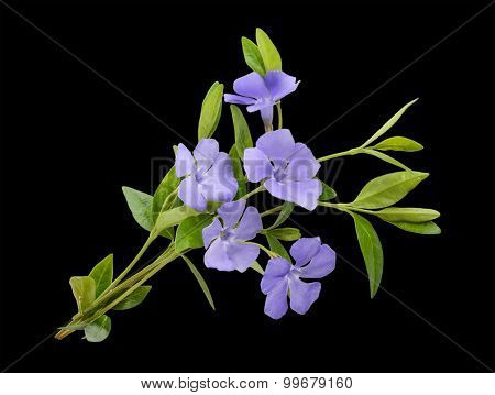Periwinkle, Vinca Minor Isolated