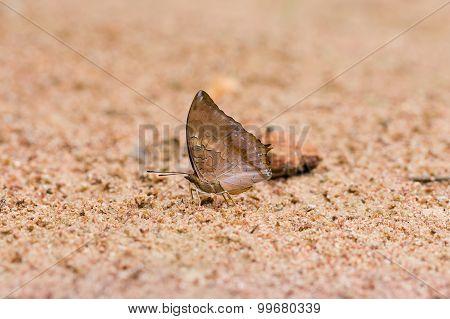 Scarce Tawny Rajah Eaten Mineral On Sand.