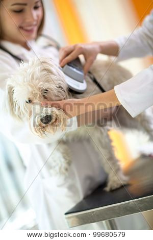 Identifying microchip implant sad lost Maltese dog by veterinarians in vet clinic
