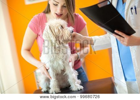 Girl holding her sick Maltese dog during the examination in vet infirmary