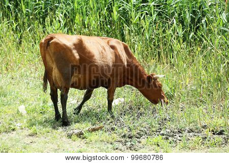 Cow grazing in meadow