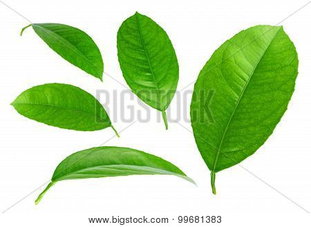 Lemon leaves isolated on white. Collection