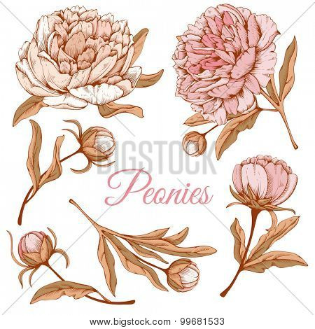 Detailed hand drawn flowers set - blooming peonies. Isolated on white background. Vector. Easy to edit.