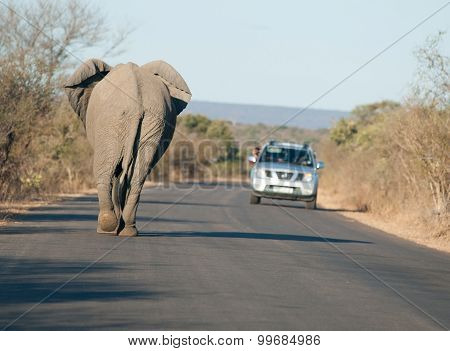 African Elephant On The Road