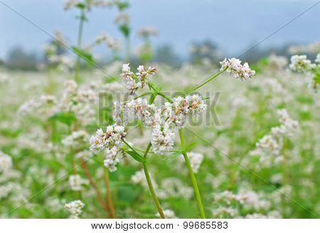 Buckwheat blossom