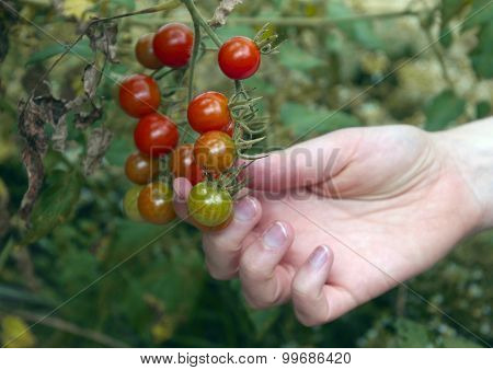 Picking Garden Ripe Cherry Tomatoes
