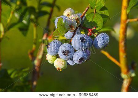 Plump, Wet, Blueberries Ripening In Summer