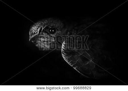 The Cute Nestling Swift  Portrait