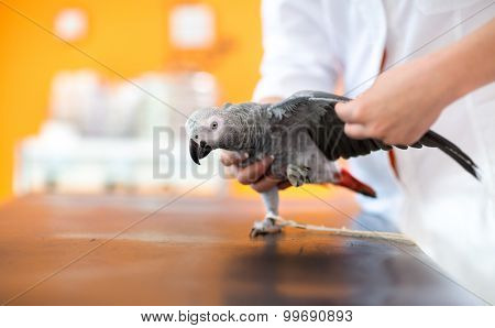 Examination of wings of sick African gray parrot and diagnosing illness in vet clinic