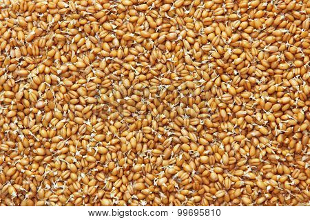 Germinated Wheat Grains As Food Background.