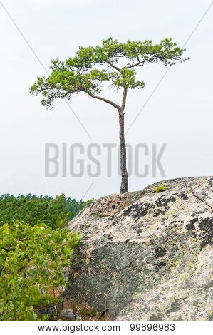 Single Small Pine Tree Grow On A Cliff
