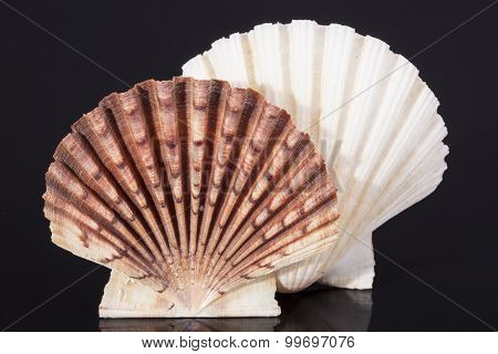 Molluscs Sea Shells Isolated On Black Background