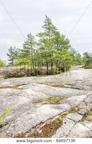 Green Pine Trees On A Cliff In Summer