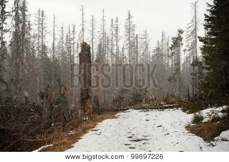 Snow Blizzard In The Forest