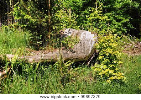 Old Stump In The Forest