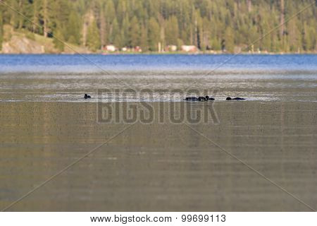Ducks In  Diamond Lake