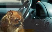 stock photo of parking lot  - dog left in the car - JPG