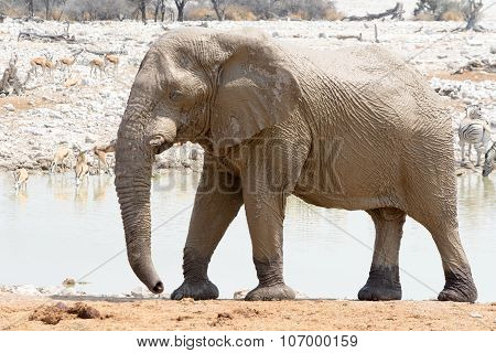 Muddy Elephant At Waterhole.