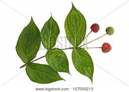 Cornus Kousa Dogwood Fruit And Leaf