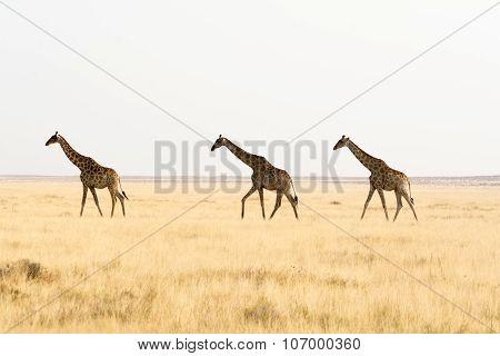Three Giraffes Walking Throug Grass Land.